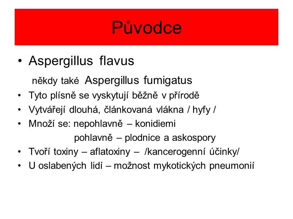 Původce Aspergillus flavus někdy také Aspergillus fumigatus Tyto plísně se vyskytují běžně v přírodě Vytvářejí dlouhá, článkovaná vlákna / hyfy / Množ