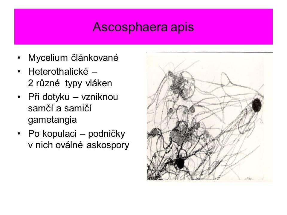Ascosphaera apis Mycelium článkované Heterothalické – 2 různé typy vláken Při dotyku – vzniknou samčí a samičí gametangia Po kopulaci – podničky v nic