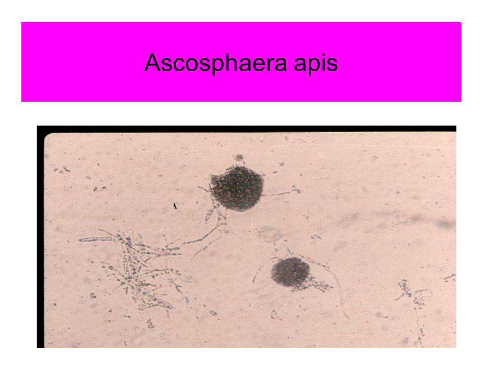 Šíření nákazy Výtrusy nebo myceliem – potravou i pokožkou Nejcitlivější jsou larvy 3-6 dní staré Trubčí plod je citlivější Houba proroste ze střev celé tělo i pokožku Choroba probíhá rychle, za 5-7 dní po nakažení je většina larev mumifikovaných Spóry Ascosphaera apis jsou infekční 15 let, hlavně v pylu