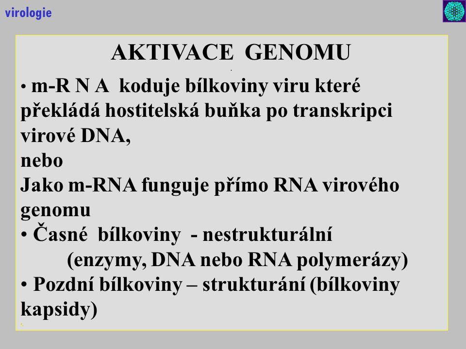 AKTIVACE GENOMU. m-R N A koduje bílkoviny viru které překládá hostitelská buňka po transkripci virové DNA, nebo Jako m-RNA funguje přímo RNA virového