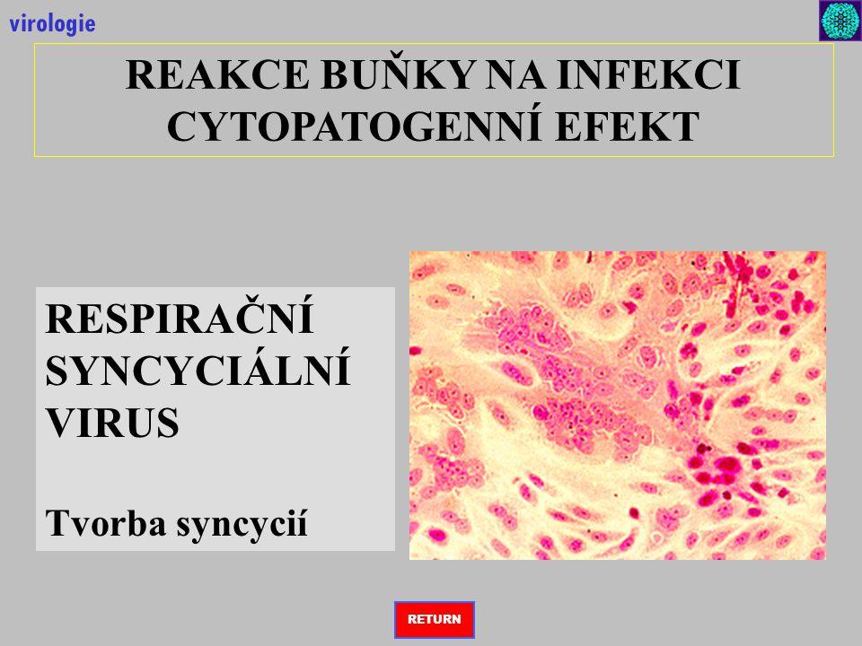 REAKCE BUŇKY NA INFEKCI CYTOPATOGENNÍ EFEKT virologie RESPIRAČNÍ SYNCYCIÁLNÍ VIRUS Tvorba syncycií RETURN