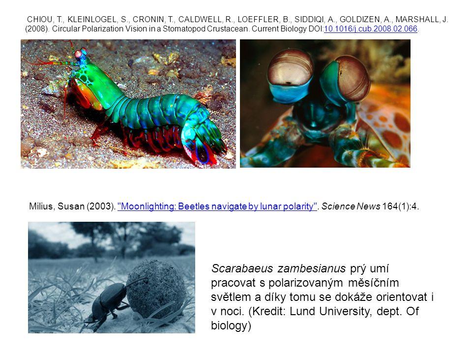 Scarabaeus zambesianus prý umí pracovat s polarizovaným měsíčním světlem a díky tomu se dokáže orientovat i v noci. (Kredit: Lund University, dept. Of