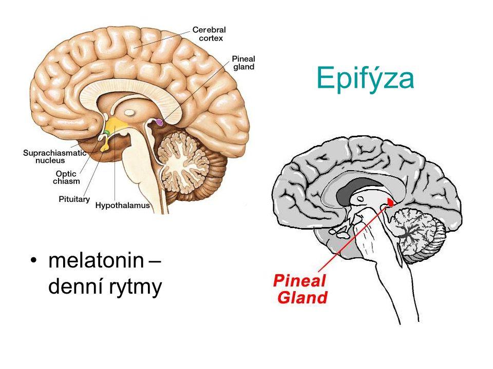 Epifýza melatonin – denní rytmy