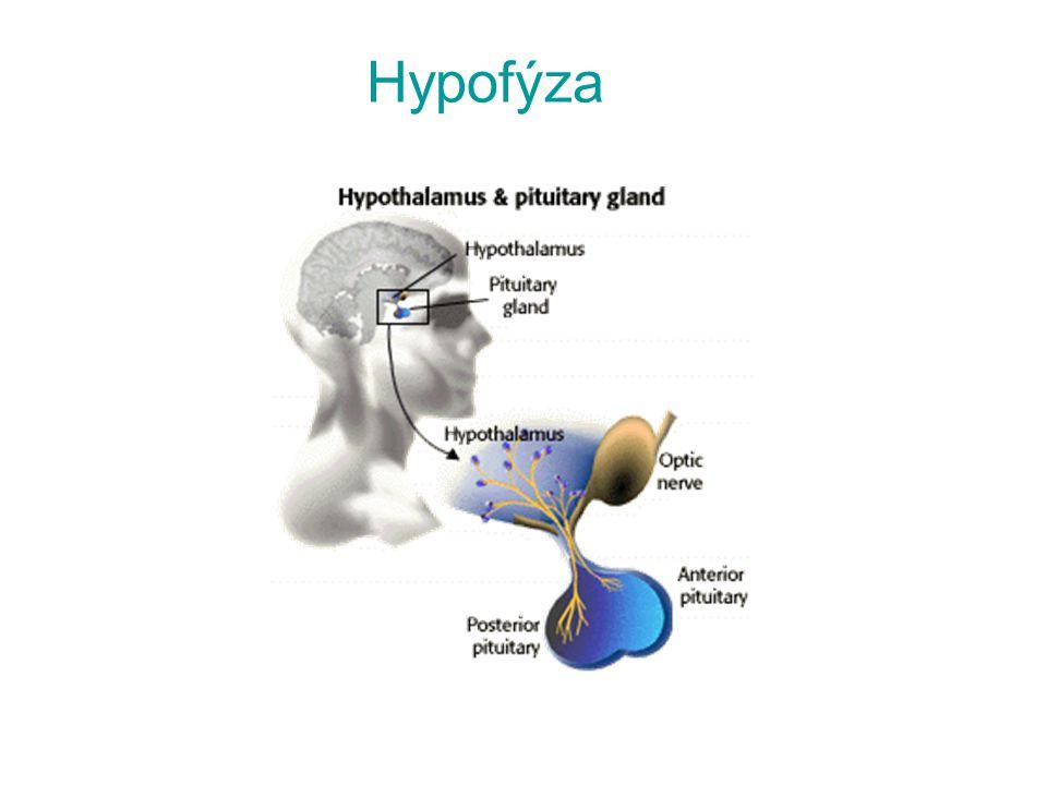 Hypofýza