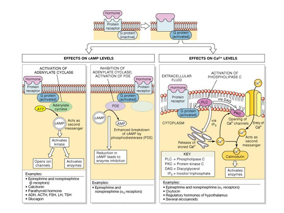 Účinky inzulínu na játra – anabol.