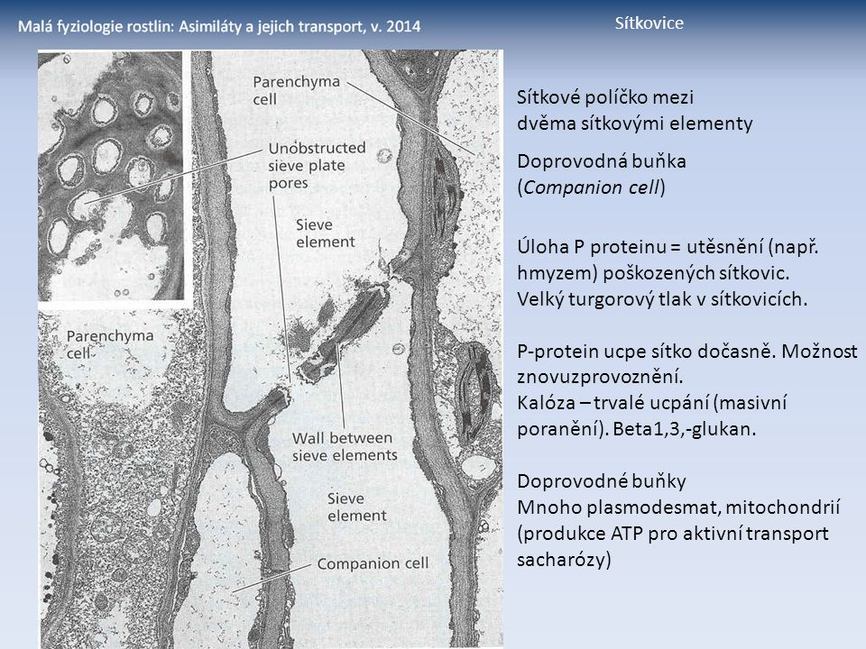 Sítkové políčko mezi dvěma sítkovými elementy Doprovodná buňka (Companion cell) Úloha P proteinu = utěsnění (např. hmyzem) poškozených sítkovic. Velký
