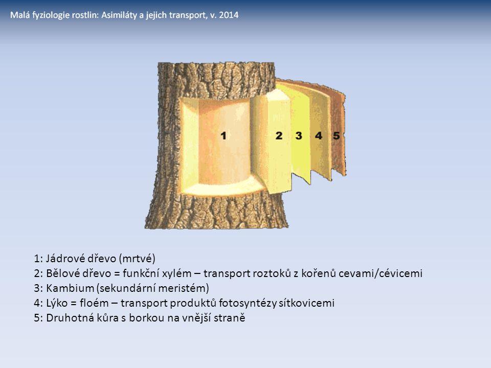 1: Jádrové dřevo (mrtvé) 2: Bělové dřevo = funkční xylém – transport roztoků z kořenů cevami/cévicemi 3: Kambium (sekundární meristém) 4: Lýko = floém