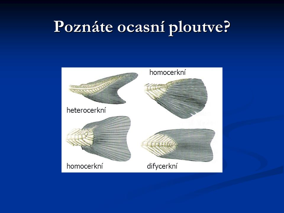 Poznáte ocasní ploutve? homocerkní heterocerkní difycerkní