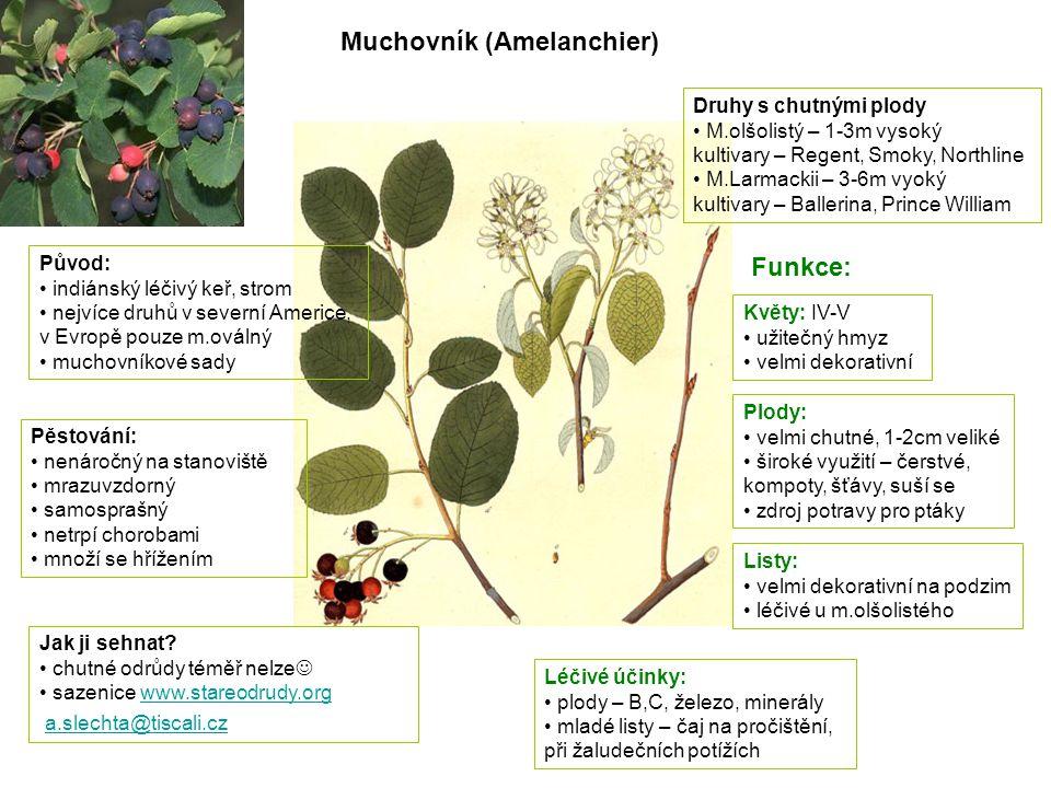 Muchovník (Amelanchier) Původ: indiánský léčivý keř, strom nejvíce druhů v severní Americe, v Evropě pouze m.oválný muchovníkové sady Pěstování: nenár