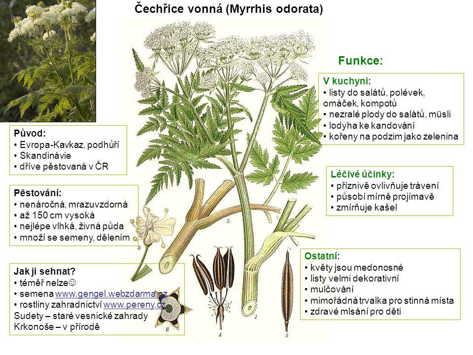 Čechřice vonná (Myrrhis odorata) Původ: Evropa-Kavkaz, podhůří Skandinávie dříve pěstovaná v ČR Pěstování: nenáročná, mrazuvzdorná až 150 cm vysoká ne