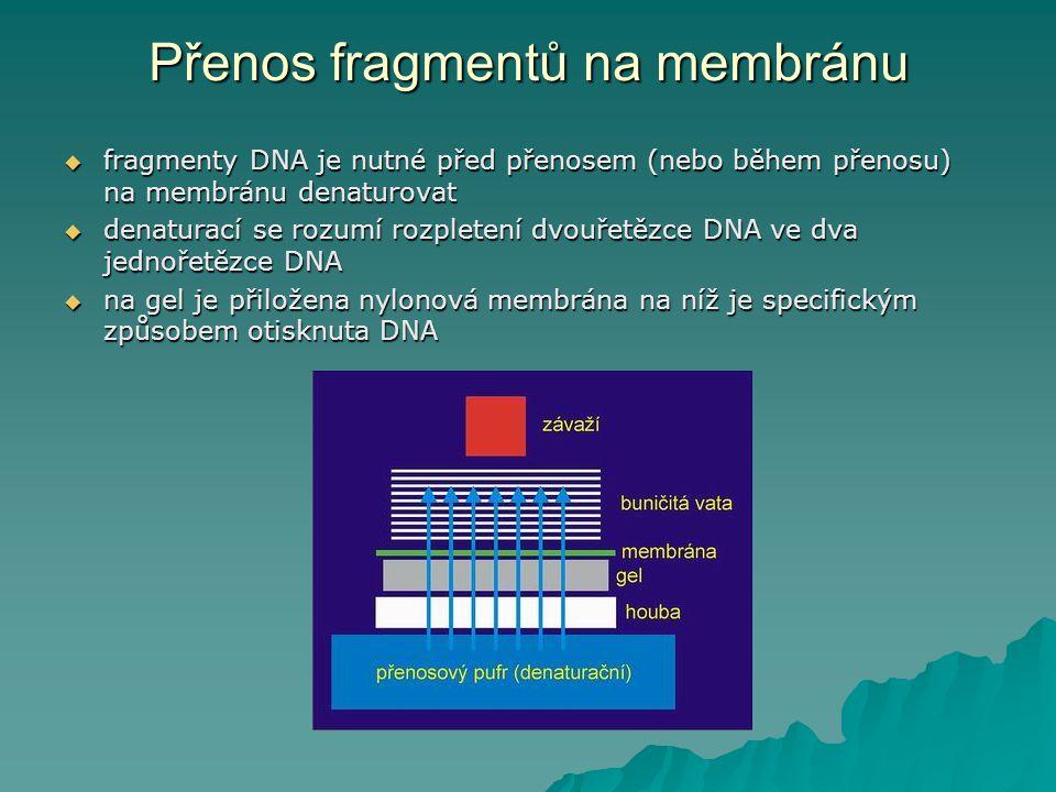 Přenos fragmentů na membránu  fragmenty DNA je nutné před přenosem (nebo během přenosu) na membránu denaturovat  denaturací se rozumí rozpletení dvo