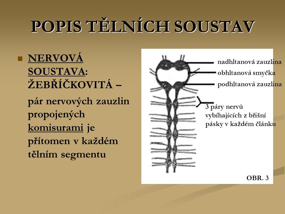 POPIS TĚLNÍCH SOUSTAV NERVOVÁ SOUSTAVA: ŽEBŘÍČKOVITÁ – pár nervových zauzlin propojených komisurami je přítomen v každém tělním segmentu nadhltanová zauzlina obhltanová smyčka podhltanová zauzlina 3 páry nervů vybíhajících z břišní pásky v každém článku OBR.
