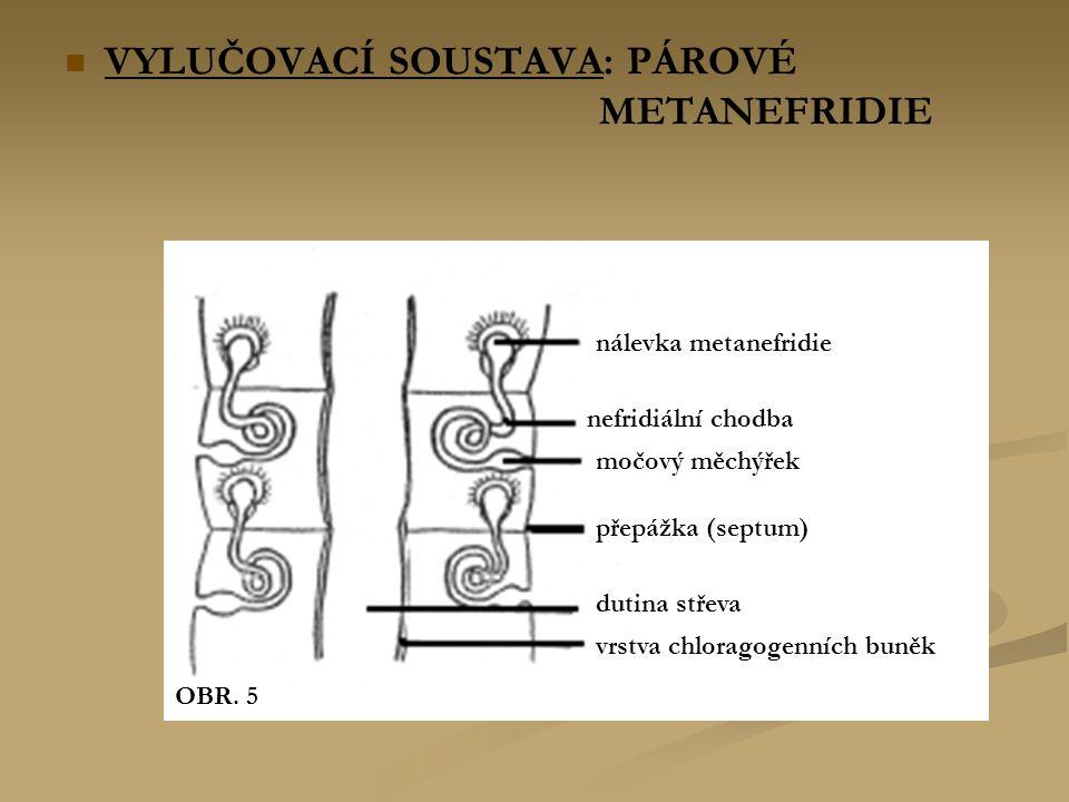 VYLUČOVACÍ SOUSTAVA: PÁROVÉ METANEFRIDIE nálevka metanefridie nefridiální chodba močový měchýřek přepážka (septum) dutina střeva vrstva chloragogenních buněk OBR.
