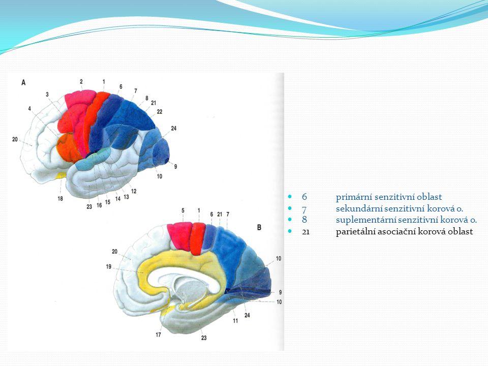 6 primární senzitivní oblast 7 sekundární senzitivní korová o. 8 suplementární senzitivní korová o. 21 parietální asociační korová oblast