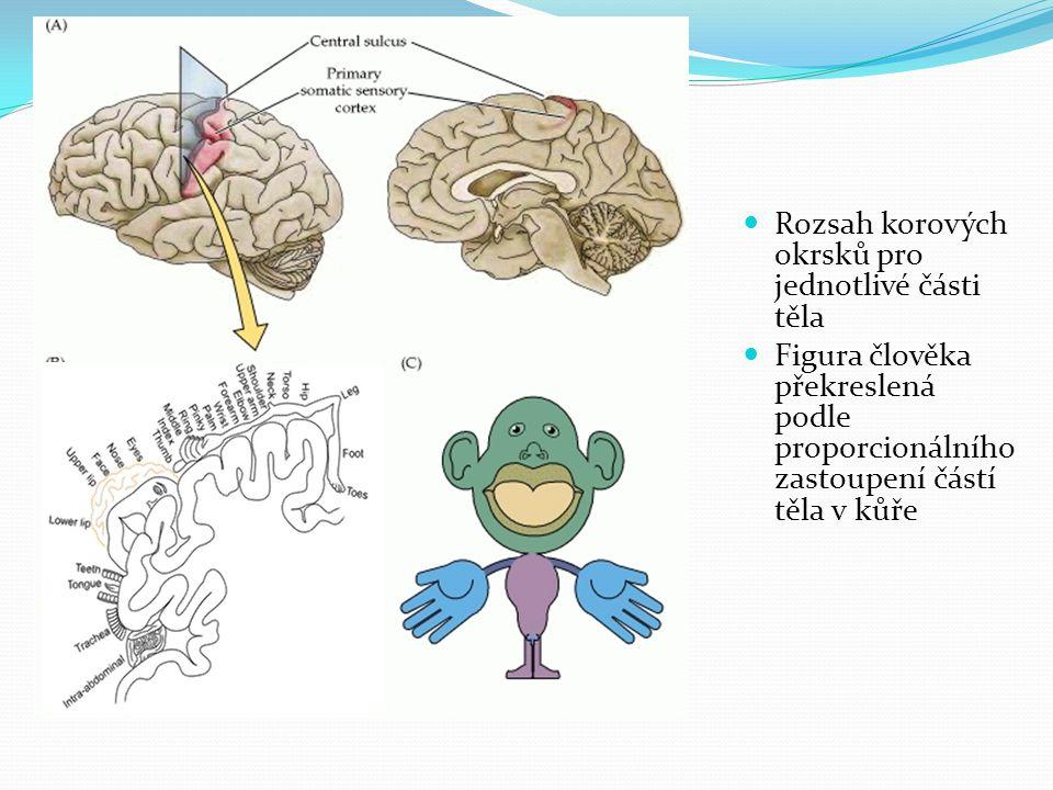 Rozsah korových okrsků pro jednotlivé části těla Figura člověka překreslená podle proporcionálního zastoupení částí těla v kůře