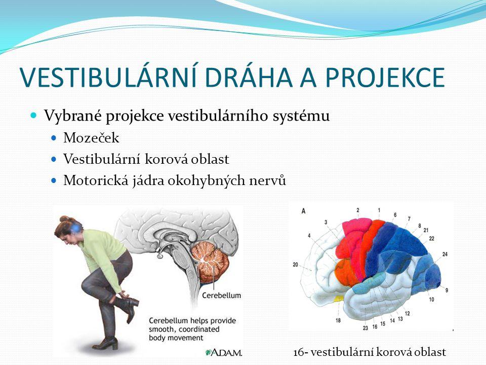 VESTIBULÁRNÍ DRÁHA A PROJEKCE Vybrané projekce vestibulárního systému Mozeček Vestibulární korová oblast Motorická jádra okohybných nervů 16- vestibul