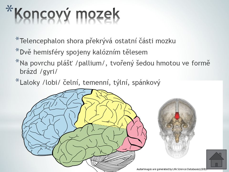 * Telencephalon shora překrývá ostatní části mozku * Dvě hemisféry spojeny kalózním tělesem * Na povrchu plášť /pallium/, tvořený šedou hmotou ve form