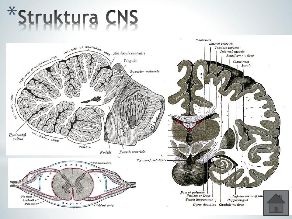 * Šedá hmota – je tvořena převážně těly neuronů - je na povrchu koncového mozku a mozečku; uprostřed páteřní míchy * Bílá hmota – tvořena převážně neu