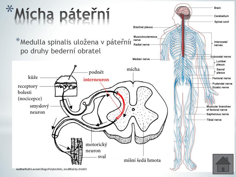 * Medulla spinalis uložena v páteřním kanále od otvoru týlního až po druhy bederní obratel * Průchodiště drah vzestupných a sestupných * 31 párů míšní