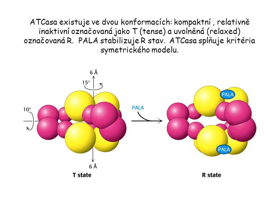 ATCasa existuje ve dvou konformacích: kompaktní, relativně inaktivní označovaná jako T (tense) a uvolněná (relaxed) označovaná R.
