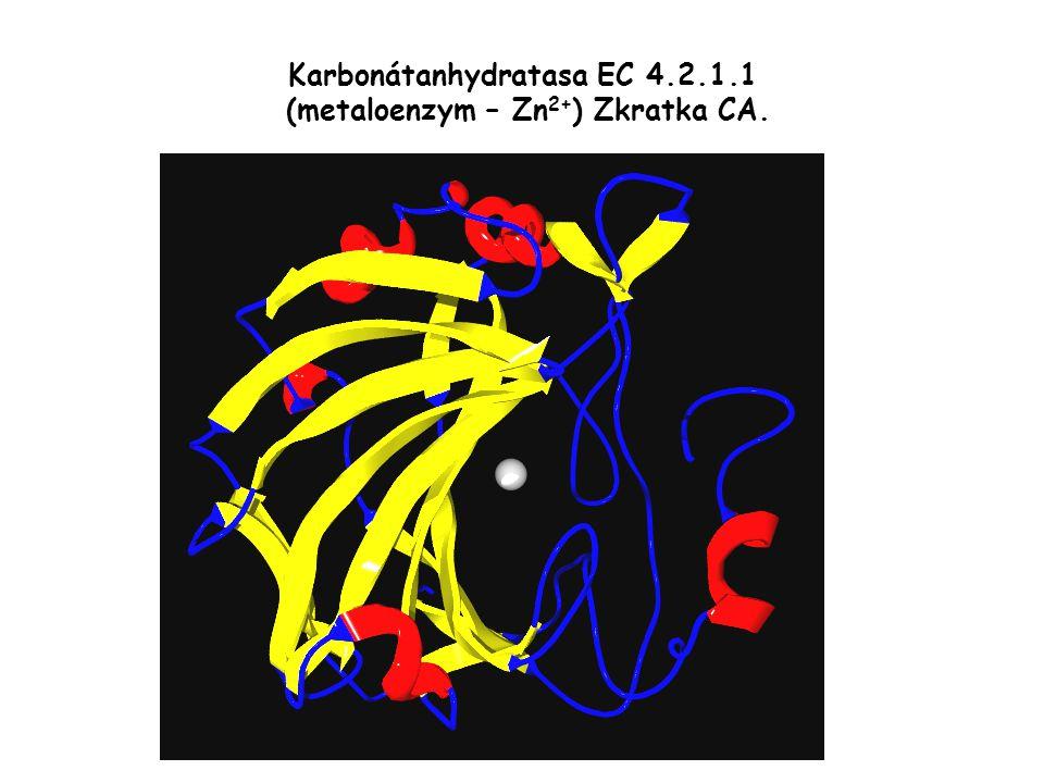 Karbonátanhydratasa EC 4.2.1.1 (metaloenzym – Zn 2+ ) Zkratka CA.