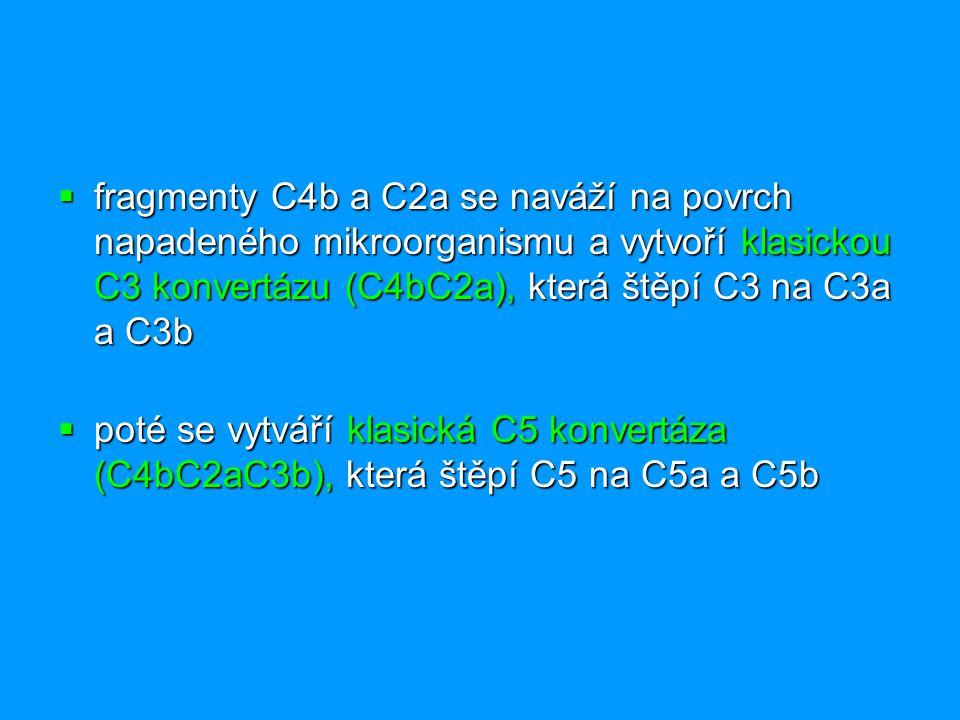  fragmenty C4b a C2a se naváží na povrch napadeného mikroorganismu a vytvoří klasickou C3 konvertázu (C4bC2a), která štěpí C3 na C3a a C3b  poté se