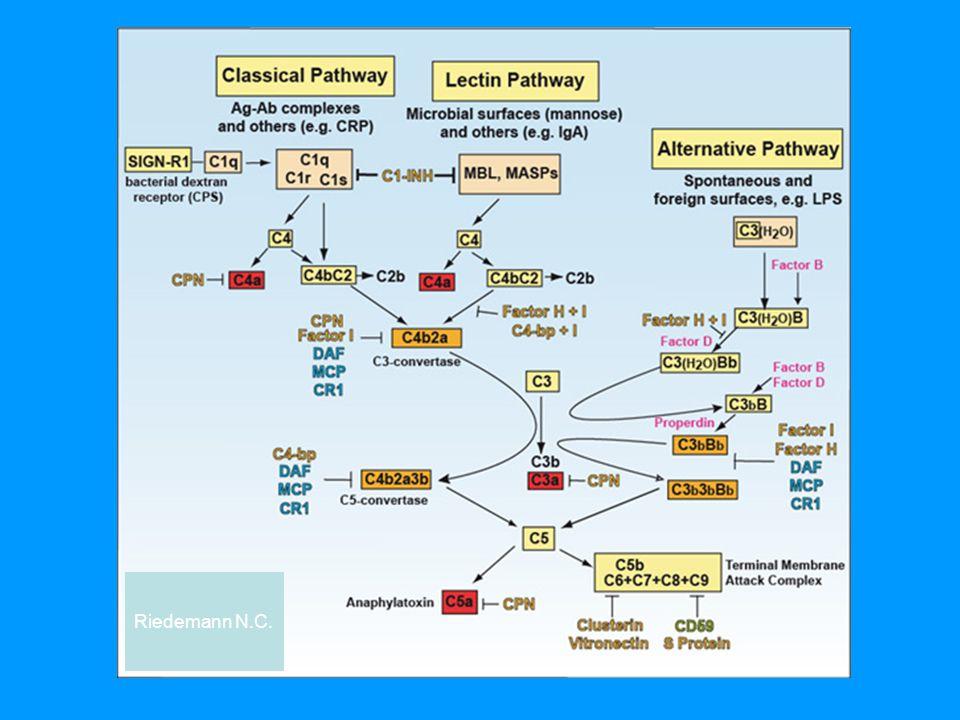 Alternativní cesta aktivace komplementu  C3 složka se samovolně štěpí na C3b a C3a  C3b se kovalentně váže na povrch nějaké částice (vlastní buňku, mikroorganismus) nebo reaguje s vodou a tím se inaktivuje  k navázanému C3b se připojí faktor B, který je štěpen faktorem D na Ba a Bb, vzniklý komplex C3bBb je stabilizován faktorem P (properdin) a funguje jako alternativní C3 konvertáza