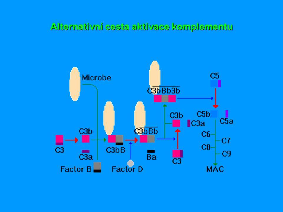 Komplementové receptory  váží fragmenty složek komplementu (převážně C3b)  CR1 - na různých bb.