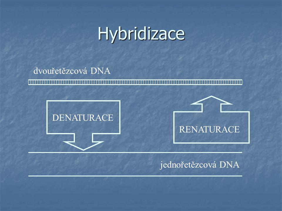 DENATURACE dvouřetězcová DNA jednořetězcová DNA RENATURACE Hybridizace