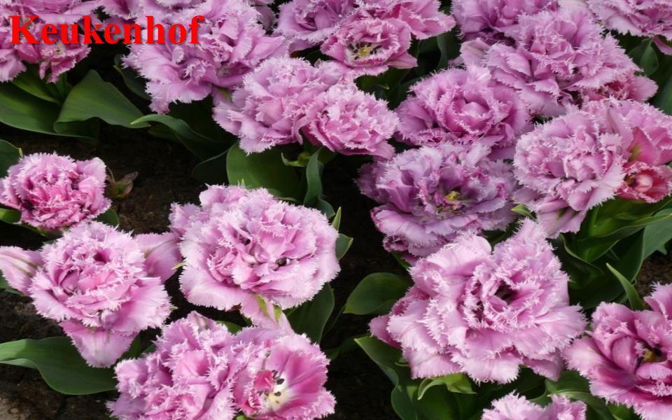 Keukenhof Park je otevřen od dubna do září. Nejlepším obdobím pro návštěvu je květen.