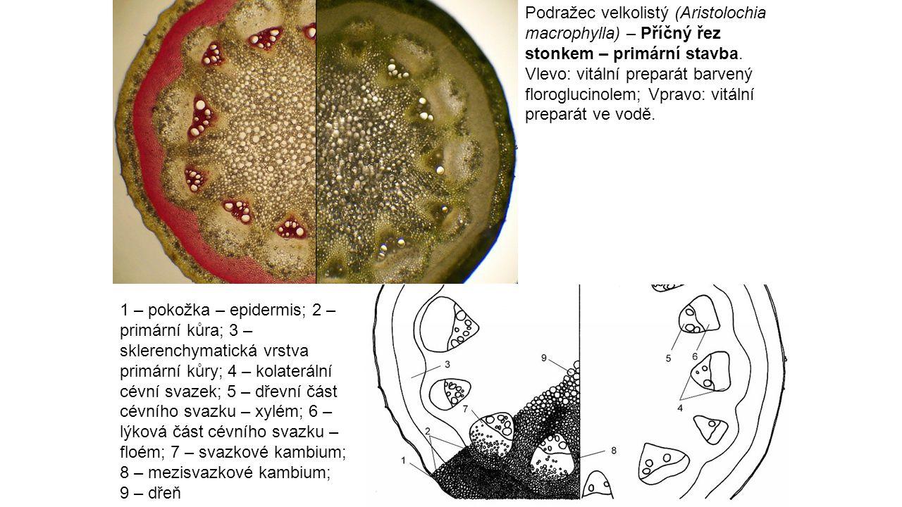 Podražec velkolistý (Aristolochia macrophylla) – Příčný řez stonkem – primární stavba. Vlevo: vitální preparát barvený floroglucinolem; Vpravo: vitáln