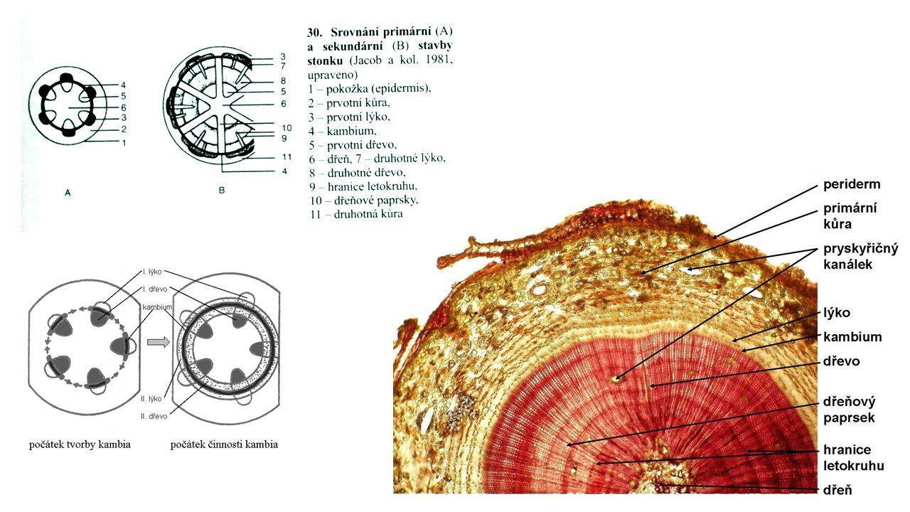 zárodek v zárodku založen v pupenu (u jednoděložných v děloze, u dvouděložných mezi dělohami) – 2 části: podděložní článek stonku (hypokotyl) – přímé prodloužení kořínku nadděložní článek stonku (epikotyl)