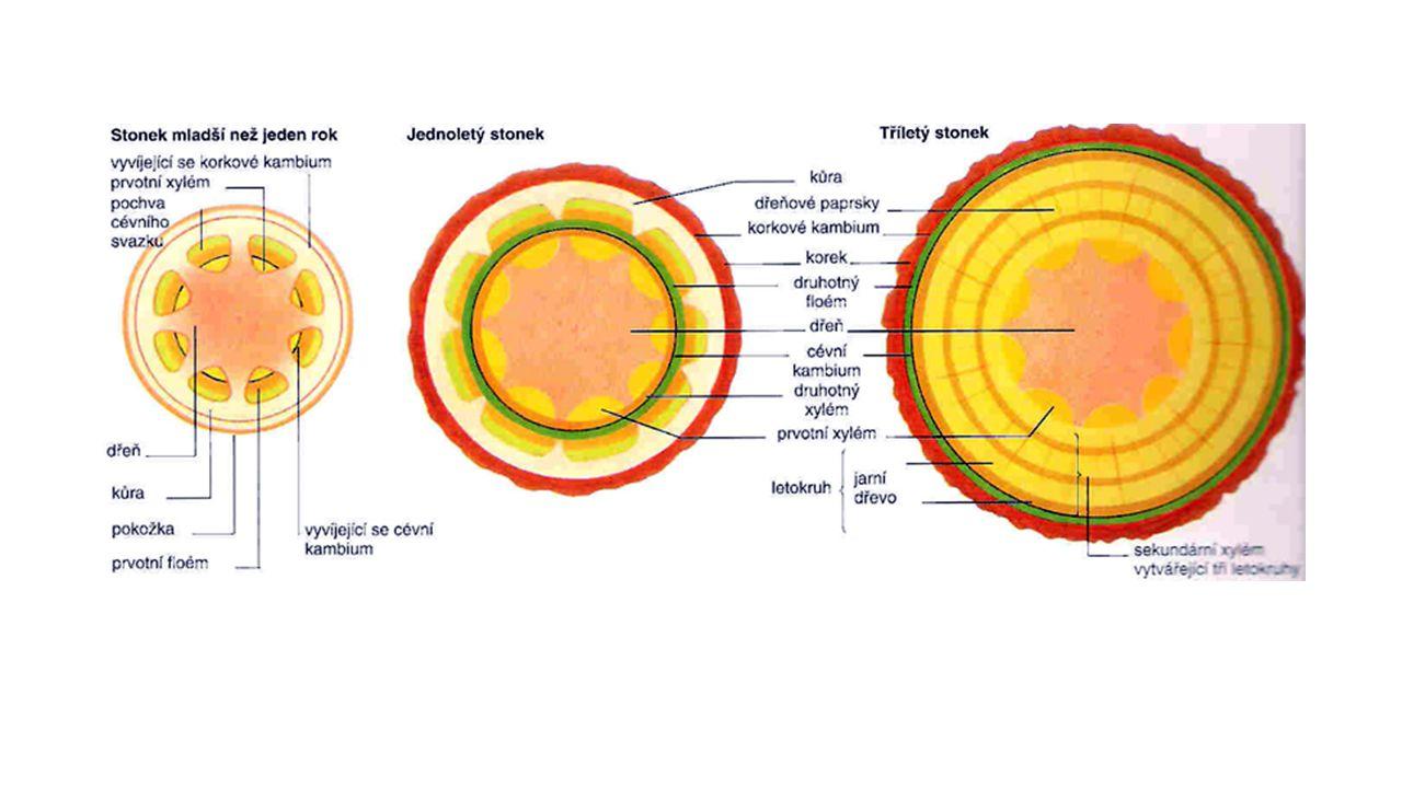 zárodek v závislosti na druhu rostliny se prodlužuje buď hypokotyl nebo epikotyl a vynáší vzrostný vrchol na povrch prodlužování podděložního článku stonku (hypokotylu) – dělohy se dostávají na povrch a přeměňují se v asimilační listy prodlužování nadděložního článku stonku (epikotylu) – dělohy zůstávají pod zemí a přeměňují se na zásobní orgány