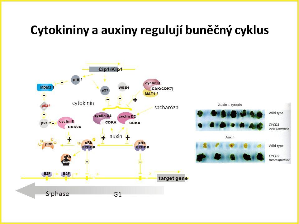 Cytokininy a auxiny regulují buněčný cyklus