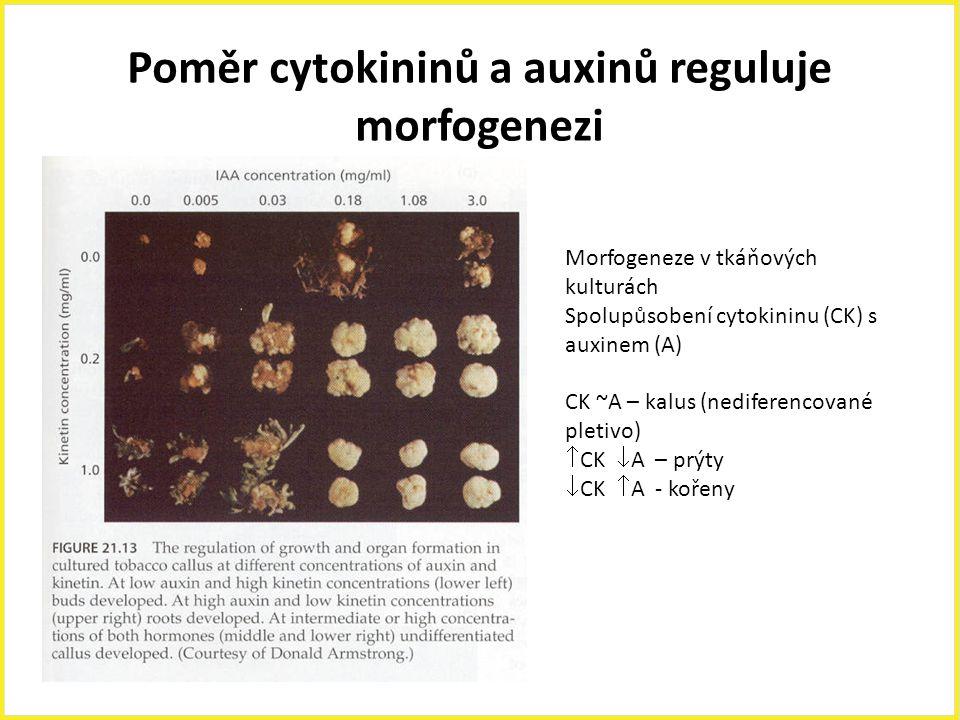 Poměr cytokininů a auxinů reguluje morfogenezi Morfogeneze v tkáňových kulturách Spolupůsobení cytokininu (CK) s auxinem (A) CK ~A – kalus (nediferenc