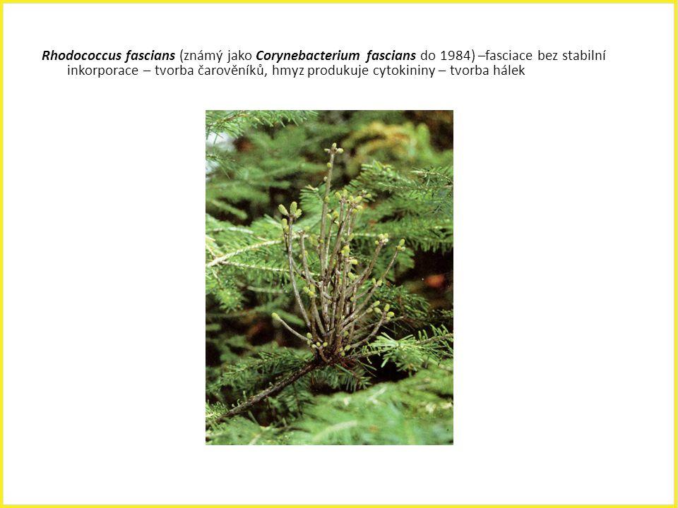 Rhodococcus fascians (známý jako Corynebacterium fascians do 1984) –fasciace bez stabilní inkorporace – tvorba čarověníků, hmyz produkuje cytokininy –