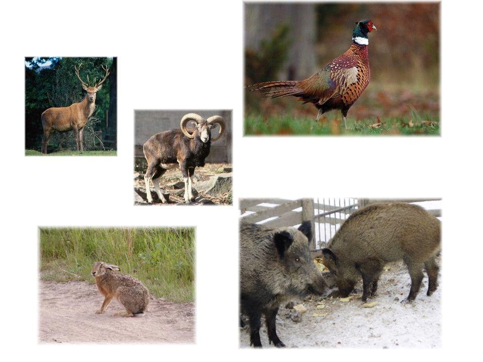 Úvod Zvěřina je označení pro maso zvěře, které bylo uloveno ve volné přírodě.