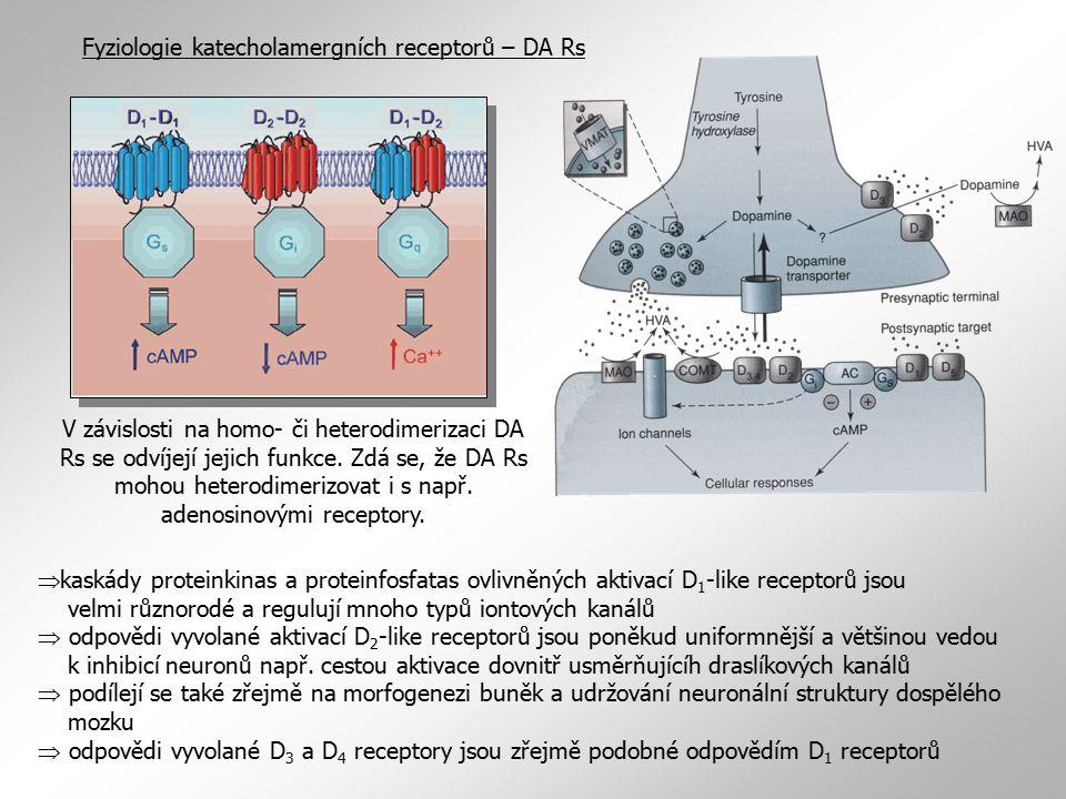 Fyziologie katecholamergních receptorů – DA Rs  kaskády proteinkinas a proteinfosfatas ovlivněných aktivací D 1 -like receptorů jsou velmi různorodé a regulují mnoho typů iontových kanálů  odpovědi vyvolané aktivací D 2 -like receptorů jsou poněkud uniformnější a většinou vedou k inhibicí neuronů např.