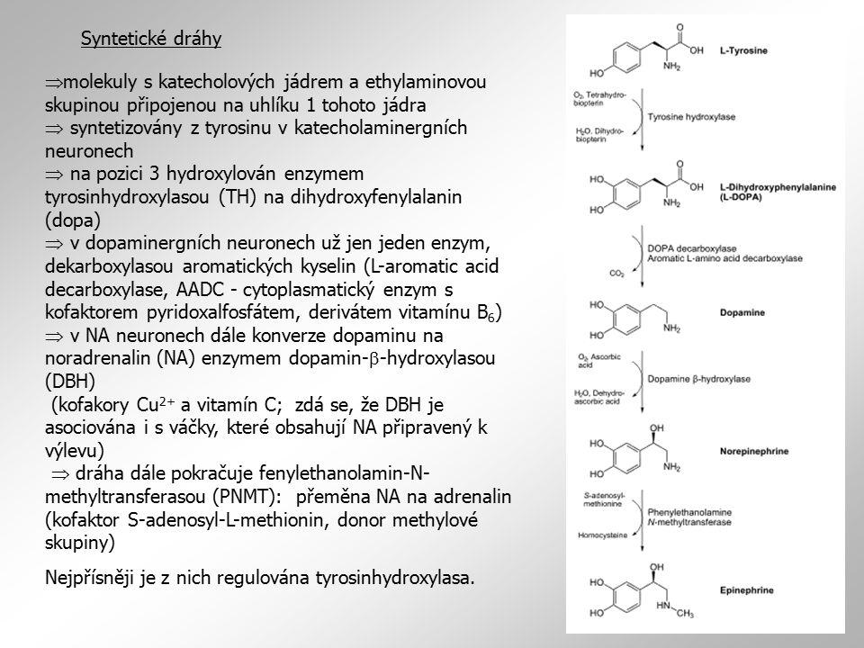 Syntetické dráhy  molekuly s katecholových jádrem a ethylaminovou skupinou připojenou na uhlíku 1 tohoto jádra  syntetizovány z tyrosinu v katecholaminergních neuronech  na pozici 3 hydroxylován enzymem tyrosinhydroxylasou (TH) na dihydroxyfenylalanin (dopa)  v dopaminergních neuronech už jen jeden enzym, dekarboxylasou aromatických kyselin (L-aromatic acid decarboxylase, AADC - cytoplasmatický enzym s kofaktorem pyridoxalfosfátem, derivátem vitamínu B 6 )  v NA neuronech dále konverze dopaminu na noradrenalin (NA) enzymem dopamin-  -hydroxylasou (DBH) (kofakory Cu 2+ a vitamín C; zdá se, že DBH je asociována i s váčky, které obsahují NA připravený k výlevu)  dráha dále pokračuje fenylethanolamin-N- methyltransferasou (PNMT): přeměna NA na adrenalin (kofaktor S-adenosyl-L-methionin, donor methylové skupiny) Nejpřísněji je z nich regulována tyrosinhydroxylasa.