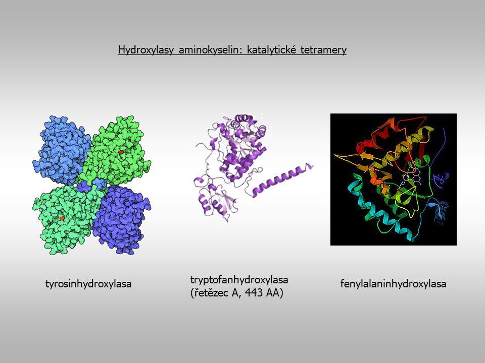 Tyrosinhydroxylasa  rate-limiting enzym syntézy všech katecholaminů  syntetizovány z tyrosinu v katecholaminergních neuronech  aktivita regulována na úrovni transkripce, translace i postranslačních úprav  postranslační úpravy: rychlé, krátkodobé regulace aktivity TH fosforylací a defosforylací na nejméně 4 rozdílných aminokyselinových zbytcích serinu v N-koncové oblasti proteinu  tato místa může fosforylovat nejméne 9 různých preoteinkinas (proteinkinasa A, Ca 2+ /kalmodulin-dependentní proteinkinasa II nebo proteinkinasa C)  kinasy zvyšují afinitě TH k tetrahydrobioterinu a naopak snižují afinitu TH ke katecholaminům, které způsobují inhibici TH (end-product inhibition), jsou-li produkovány ve vyšším množství  po fosforylaci tedy vzrůstá aktivita TH a koncentrace dopaminu, NA či A v buňkách