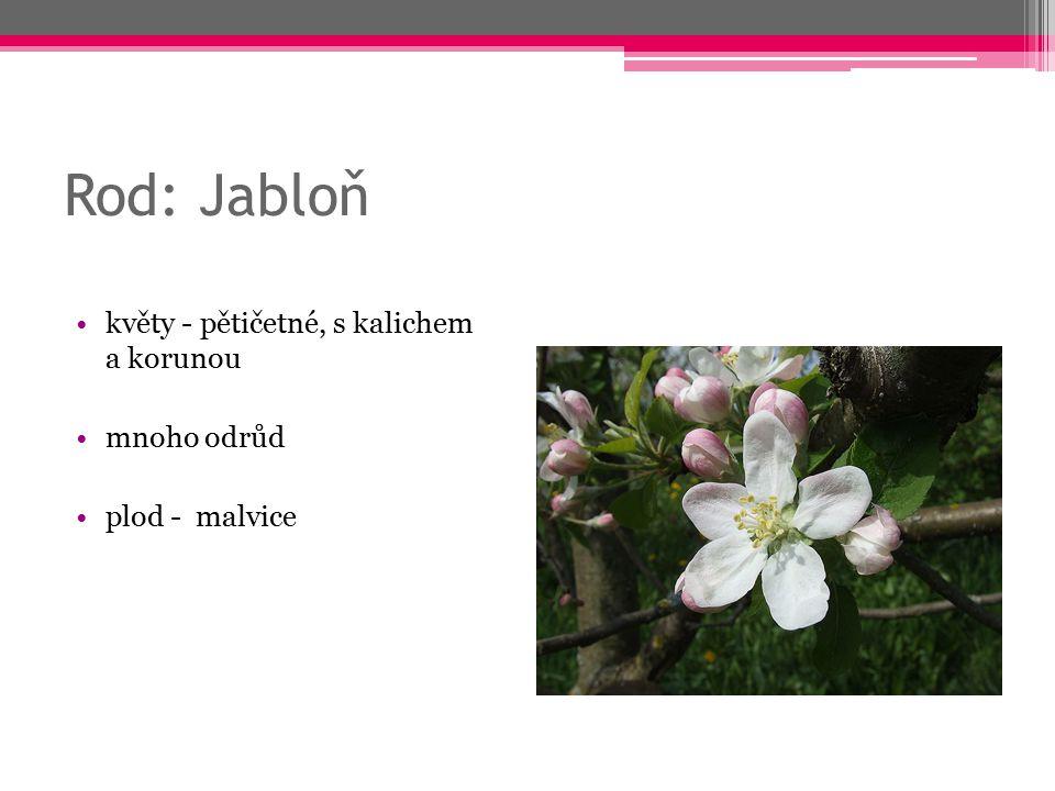 Rod: Jabloň květy - pětičetné, s kalichem a korunou mnoho odrůd plod - malvice