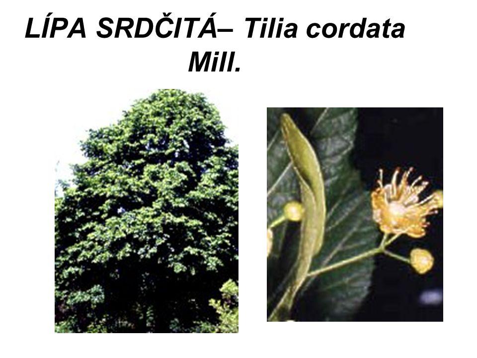 LÍPA SRDČITÁ– Tilia cordata Mill.