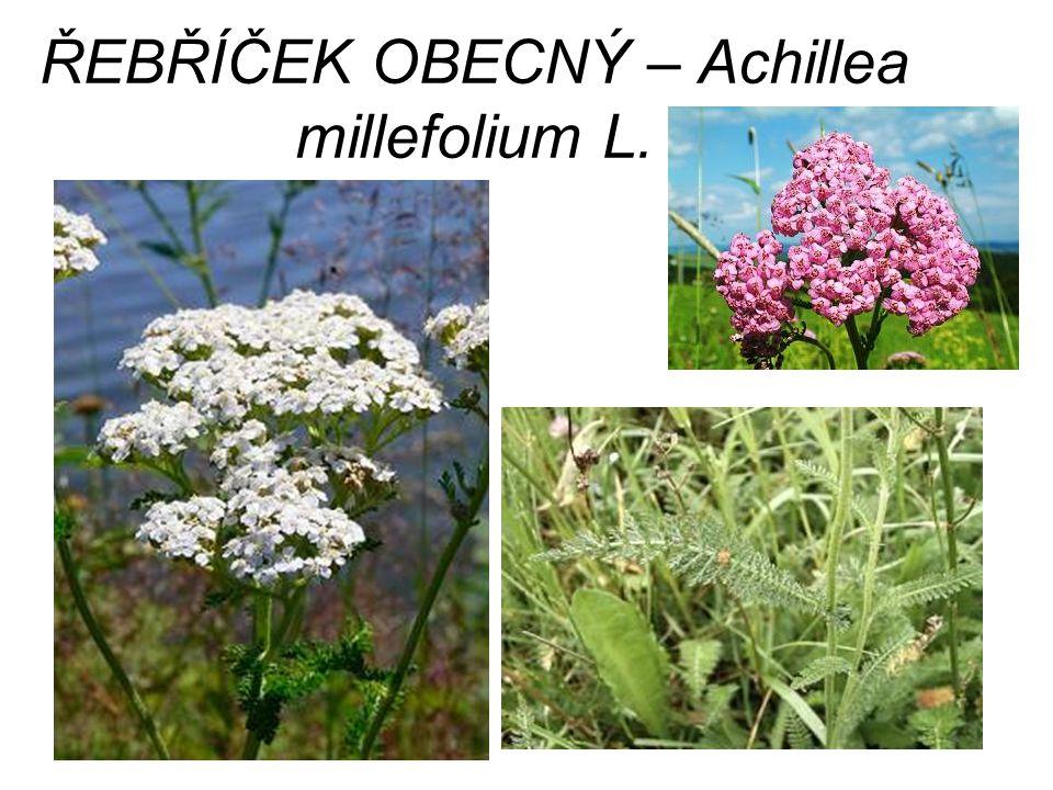 ŘEBŘÍČEK OBECNÝ – Achillea millefolium L.