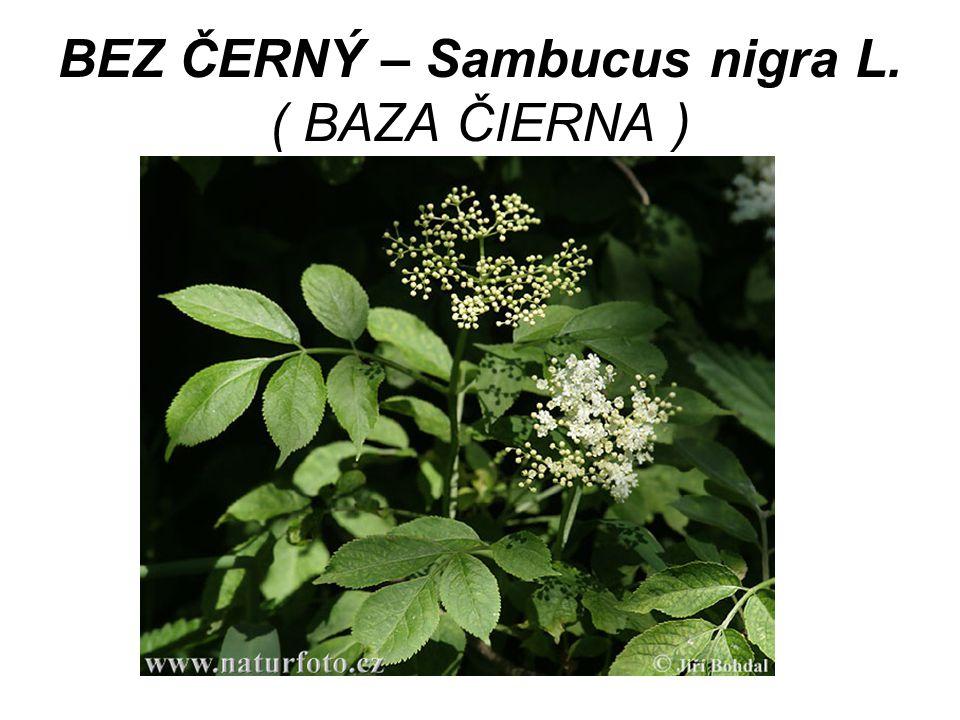 BEZ ČERNÝ – Sambucus nigra L. ( BAZA ČIERNA )