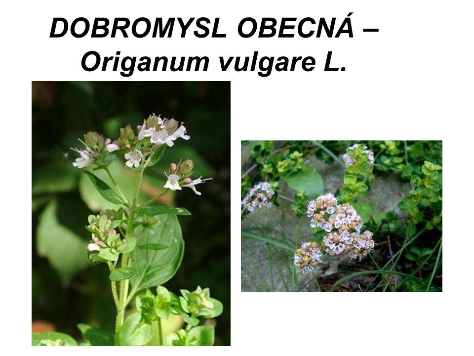 DOBROMYSL OBECNÁ – Origanum vulgare L.