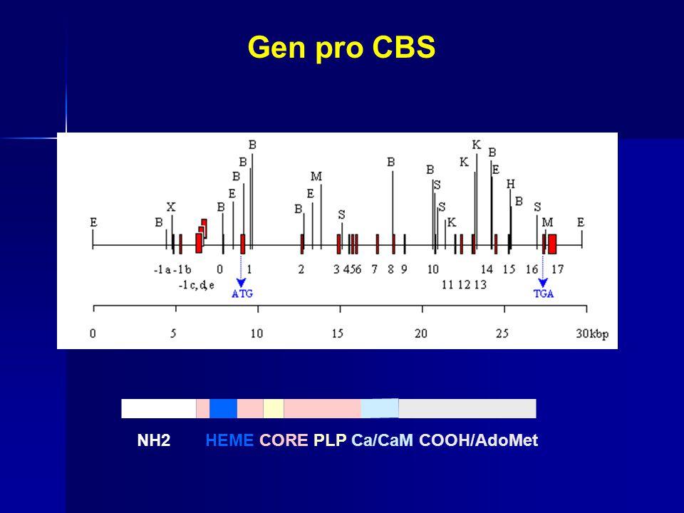 Gen pro CBS NH2HEME CORE PLP Ca/CaM COOH/AdoMet