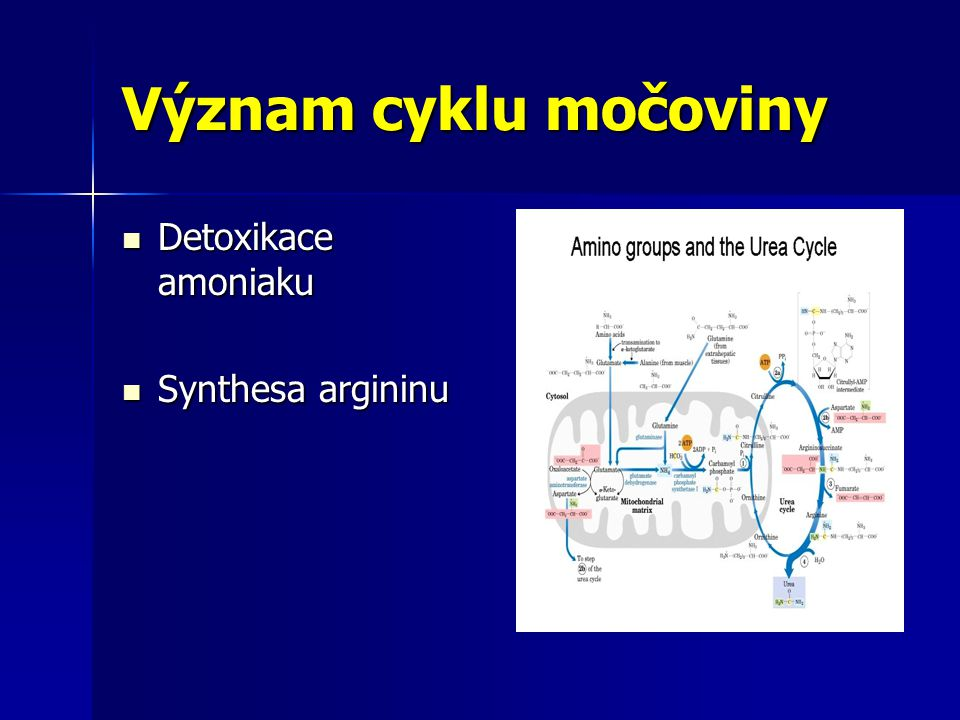 Význam cyklu močoviny Detoxikace amoniaku Detoxikace amoniaku Synthesa argininu Synthesa argininu
