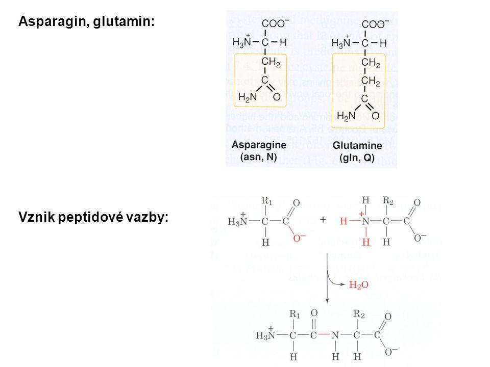 Asparagin, glutamin: Vznik peptidové vazby: