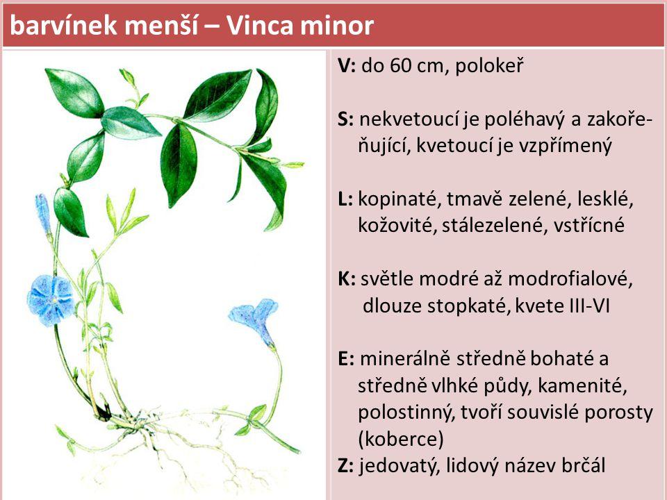 barvínek menší – Vinca minor V: do 60 cm, polokeř S: nekvetoucí je poléhavý a zakoře- ňující, kvetoucí je vzpřímený L: kopinaté, tmavě zelené, lesklé,