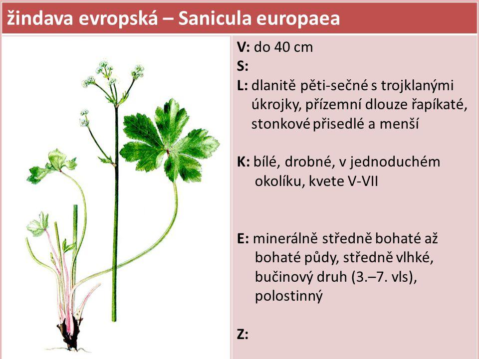 žindava evropská – Sanicula europaea V: do 40 cm S: L: dlanitě pěti-sečné s trojklanými úkrojky, přízemní dlouze řapíkaté, stonkové přisedlé a menší K